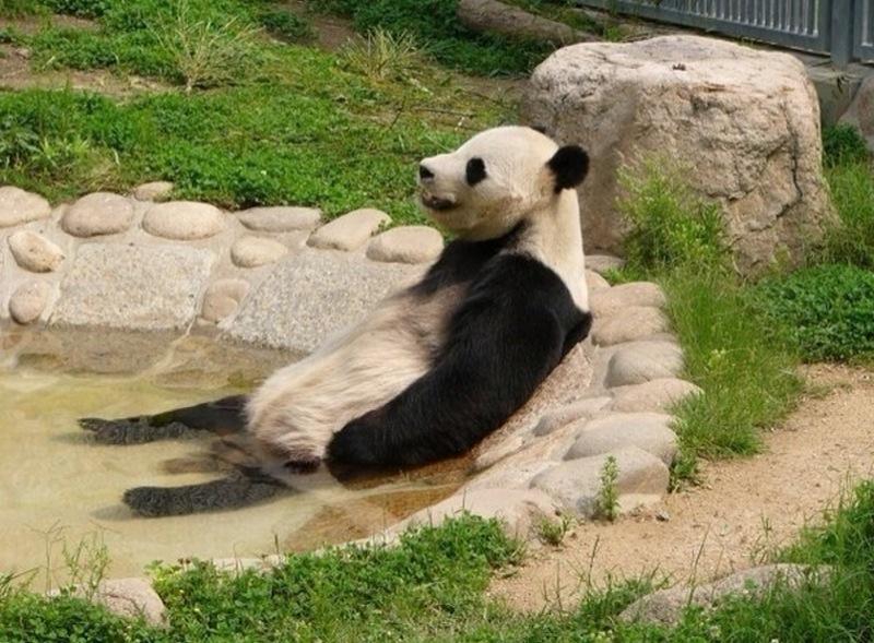 温泉に入るパンダがかわいい